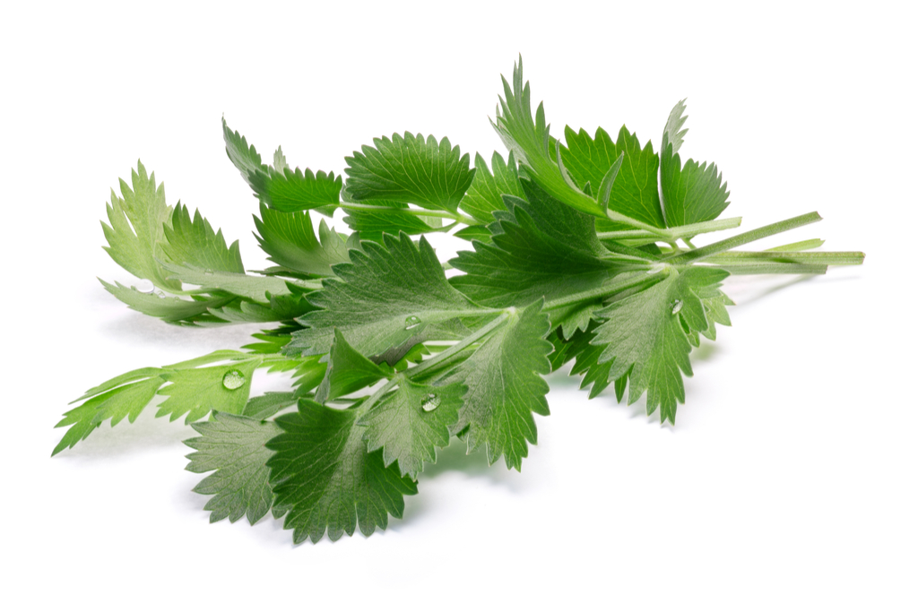 herb_anise_02